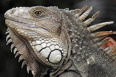 close up photo of gray iguana