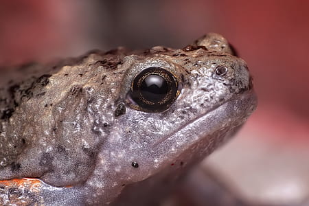 selective focus photography of gray and beige frog