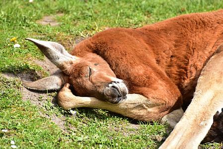 brown kangaroo lying on green grass