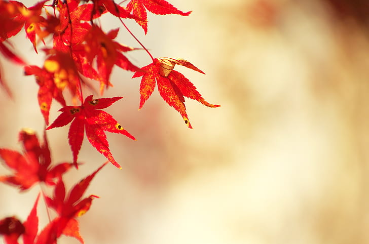 red maple in selective focus photograph