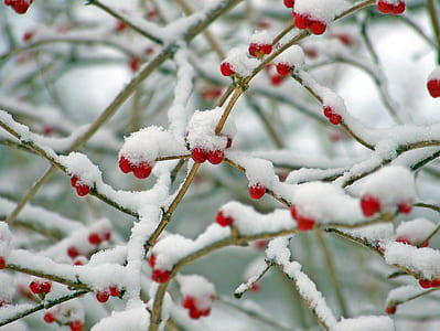 red cherries covered in snow at daytime