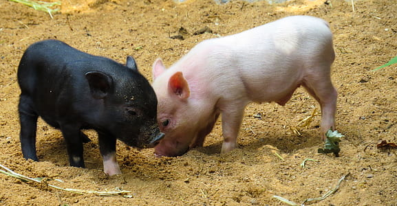 two black and white piglets