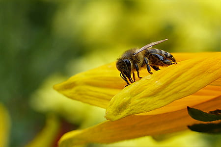 macro photography of honeybee perched on yellow petaled flower