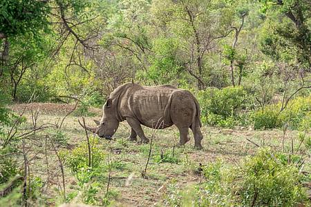 grey rhinoceros grazing on green grass field at daytime