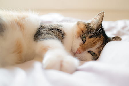 cat, animal portrait, domestic cat, lucky cat, bed, concerns