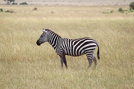 zebra on green meadow