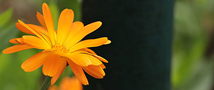 orange daisy flower in closeup photography