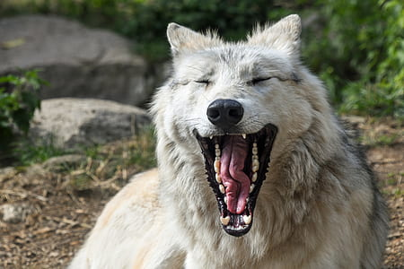yawning white wolf laying on ground