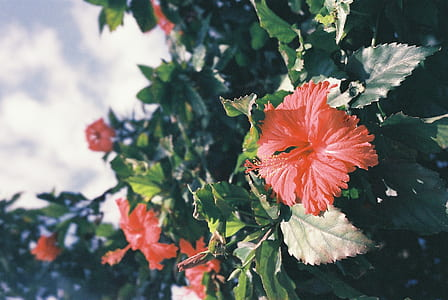 shallow focus photography of hibiscus plant