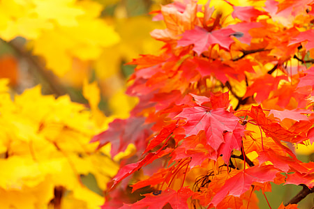 red and orange maple leaves