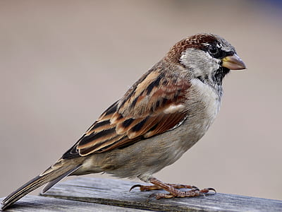 brown sparrow