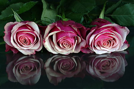 high-angle photography of three pink rose flower clusters