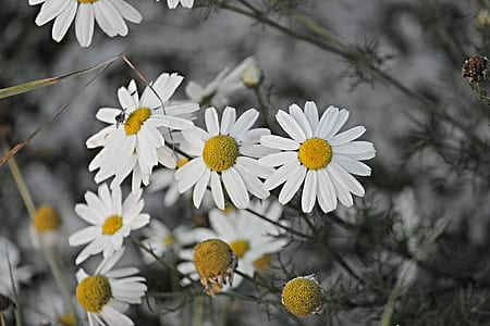 closeup photography of white daisies