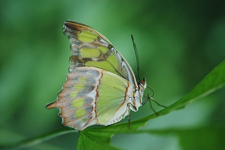 malachite butterfly perched on green leaf plant in closeup photography