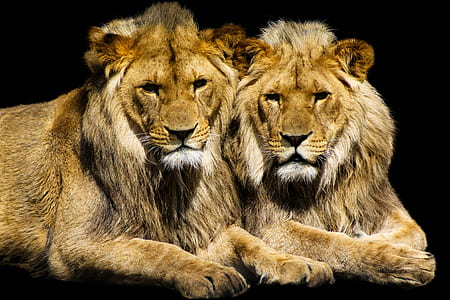 two brown Lions
