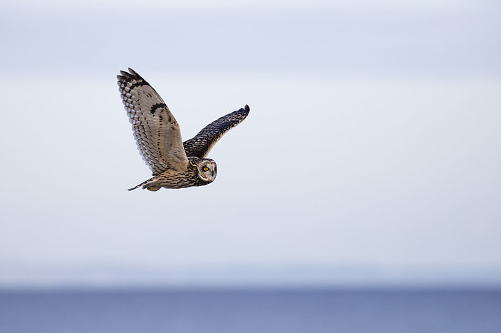 focus photography of barn owl flying during daytime