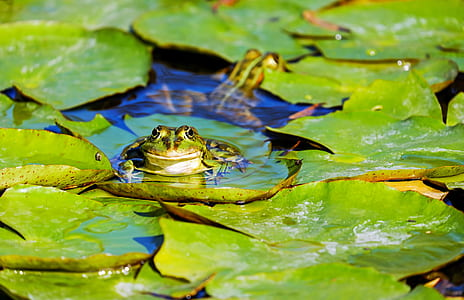 green frog on lily pad during daytime