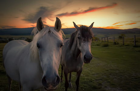 two white horses on grass field