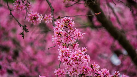 pink leaves tree