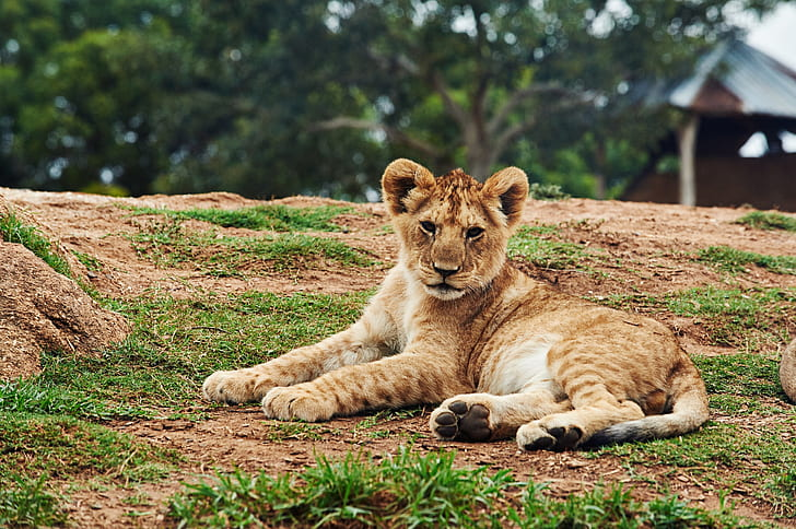 lion cub lying on ground during daytime