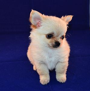 tan Chihuahua puppy