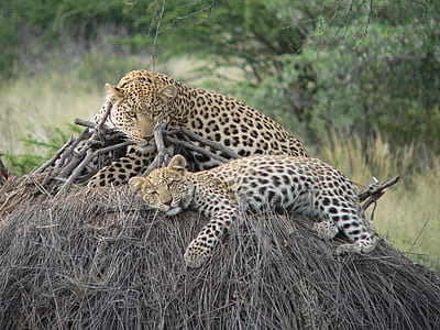 two leopards laying on the hay