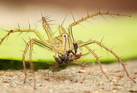 closeup photo of yellow spider carrying prey