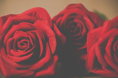 three red rose flowers
