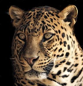 adult orange cheetah
