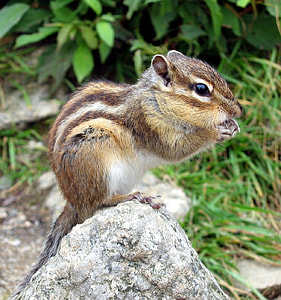 brown and gray rodent on the rock