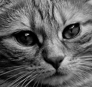 silver tabby cat
