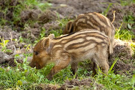 two boar piglets