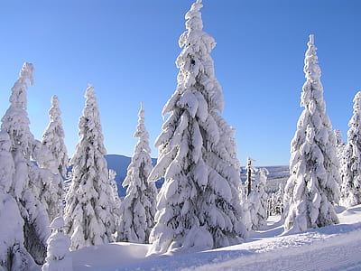 snow covered pine trees during winter