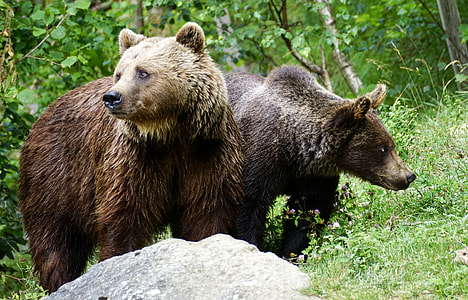photo of two brown grizzly bears