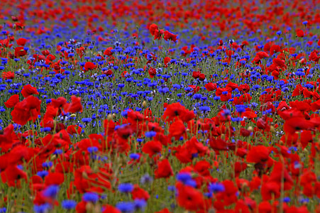 red and purple petaled flowers field