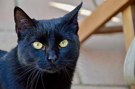 adult bombay cat