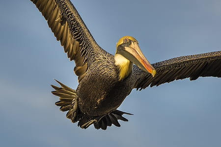 black and gray pelican soaring under clear blue sky