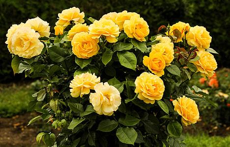 yellow rose flower arrangement near green foliage trees