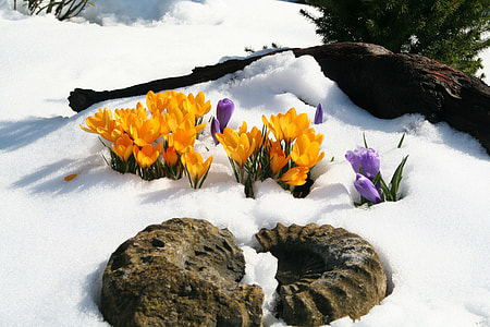 amonite fossil and yellow flowers on snowfield