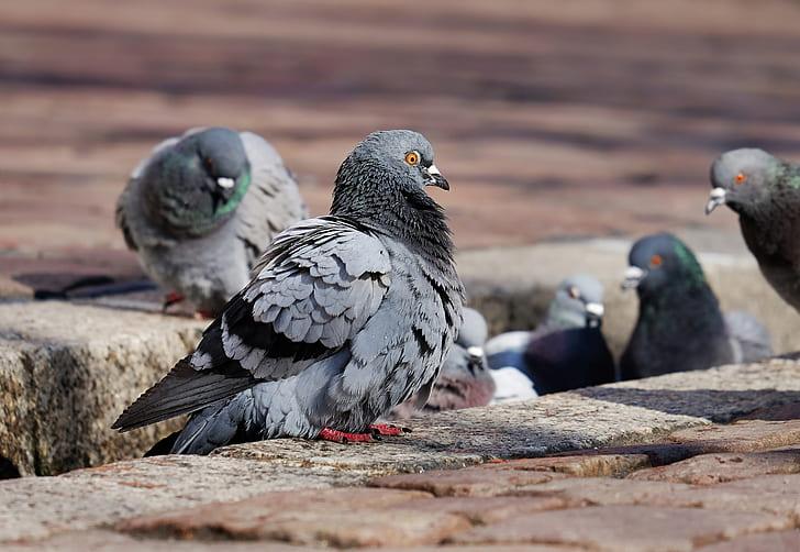 black pigeons