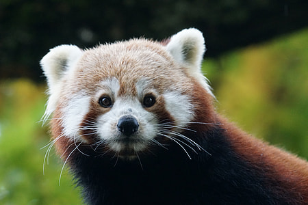 wildlife photography of red panda