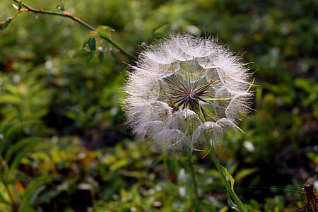white dandelion flower in closeup phot