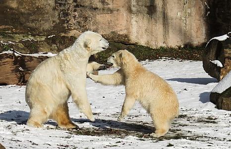 two white snow bears on white snow field