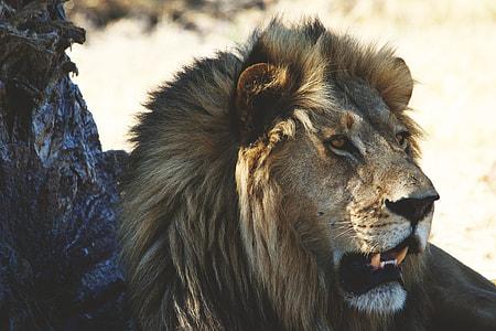 Closeup shot of a lion in Africa