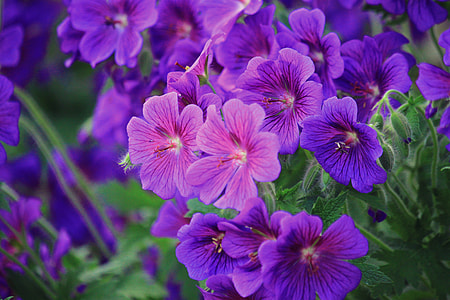 purple Geranium flowers in bloom close up photo