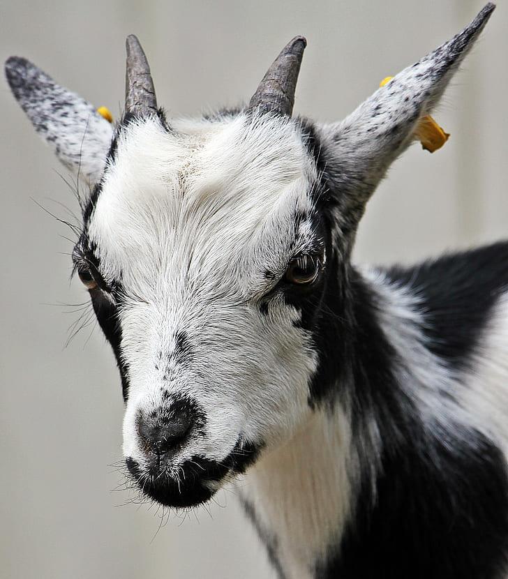 black and white goat photo