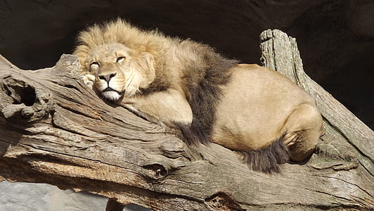 male lion resting on driftwood at daytime