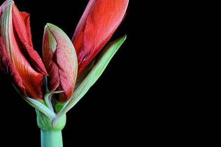 red amaryllis buds closeup photo