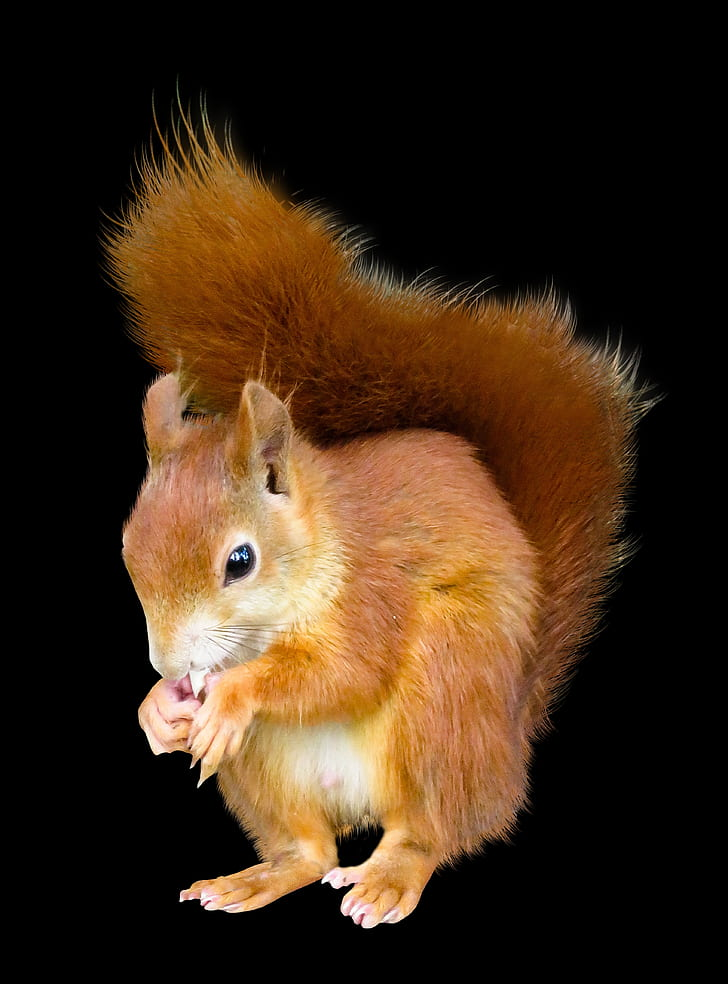 photo of brown squirrel