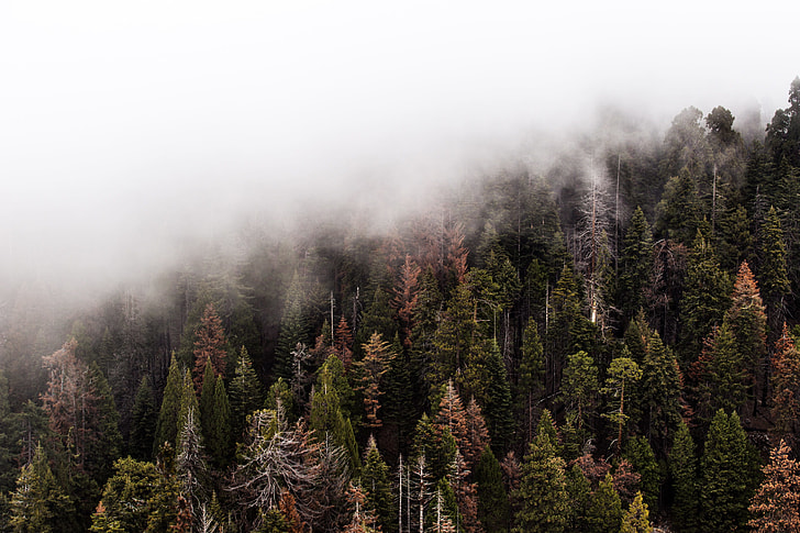 aerial photography of pine trees with fogs